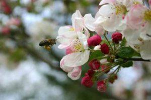 abeille amie des fleurs de pommier