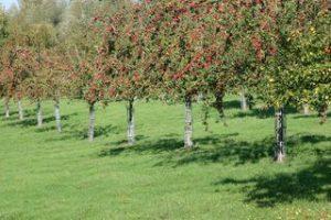 pommiers chargés de pommes cambremer