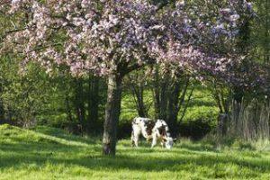 vache et pommiers - la normandie
