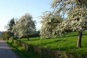 poiriers route de Rumesnil - cambremer