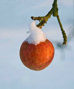 pomme givrée - cidre de givre