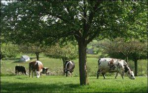 normandie terre des pommiers et des vaches
